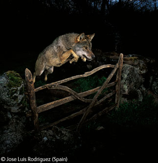 The storybook wolf. José Luis Rodríguez, 2009.